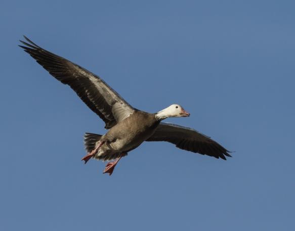 Landing blue goose against sky