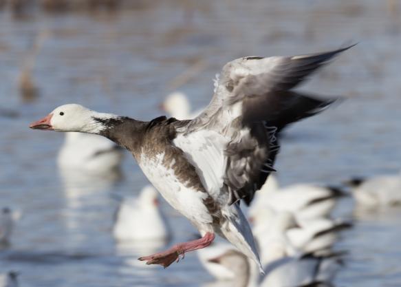 Landing blue goose