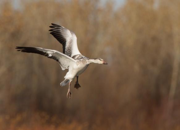 Landing immature blue goose