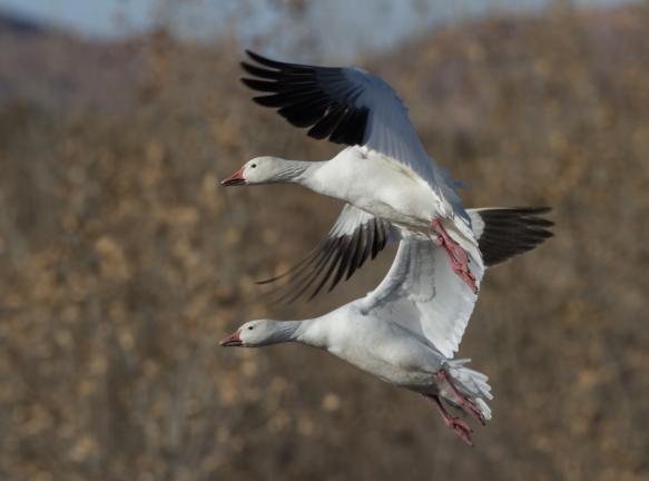 landing pair of Snow Geese