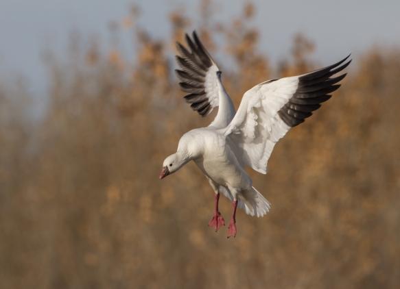 Landing Ross's Goose 1