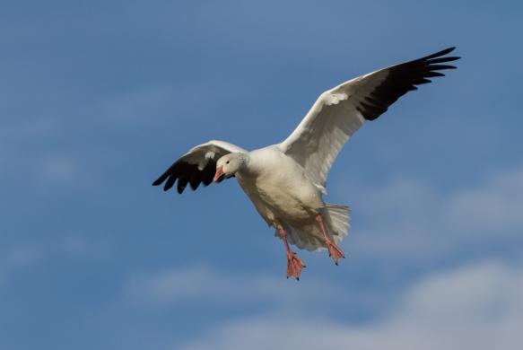 Landing Snow Goose blue sky