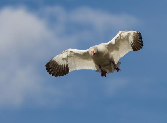 Landing Snow Goose from below