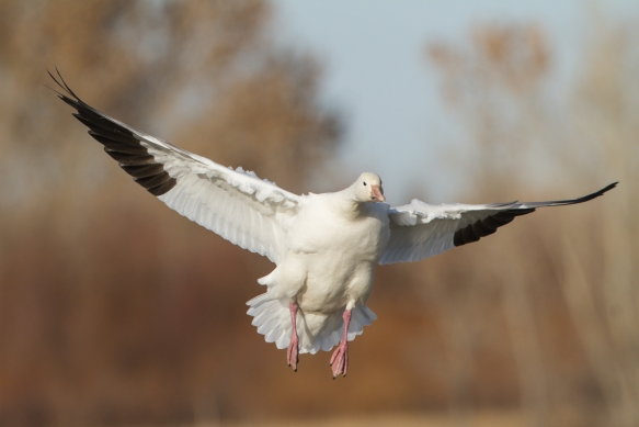 Landing Snow Goose head-on 2