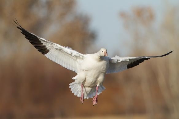 Landing Snow Goose head-on 2