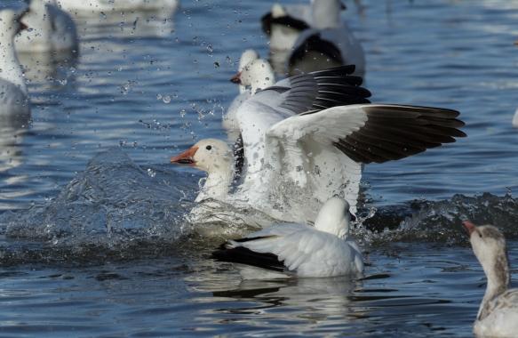 Landing Snow Goose splash-down side view