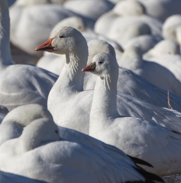 Light goose comparison