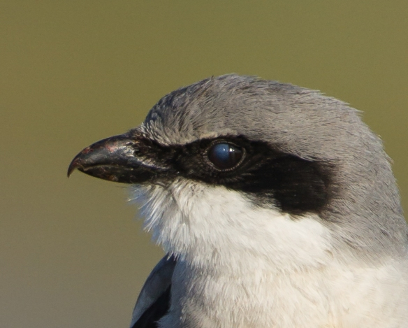 Loggerhead Shrike head