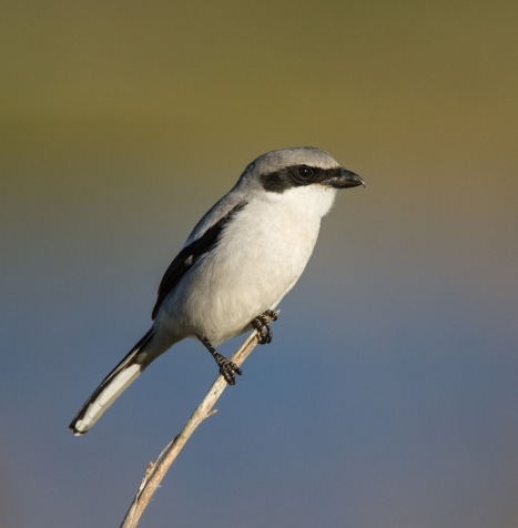 Loggerhead Shrike on reed 1