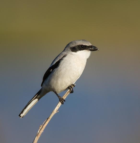 Loggerhead Shrike on reed 1