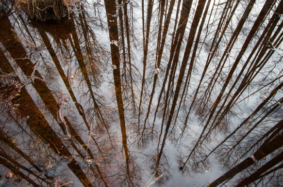 Looking down in cypress swamp