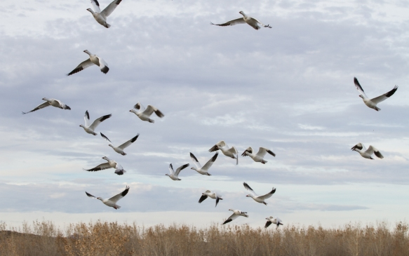 Mixed flock of light geese taking flight