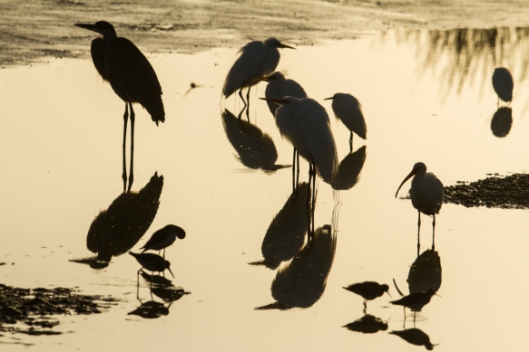 Mixed flock of waders in fog