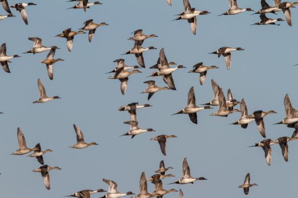 Northern Pintail flock