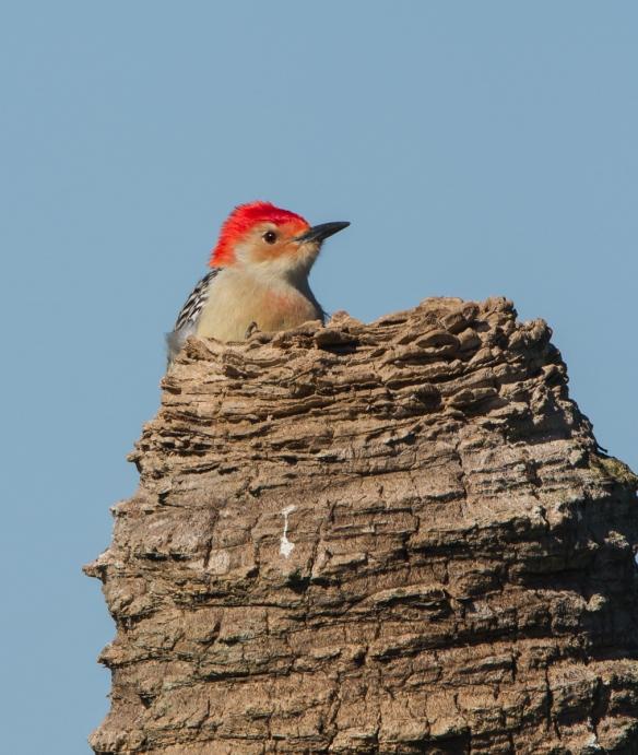 Red-bellied Woodpecker on palm trunk