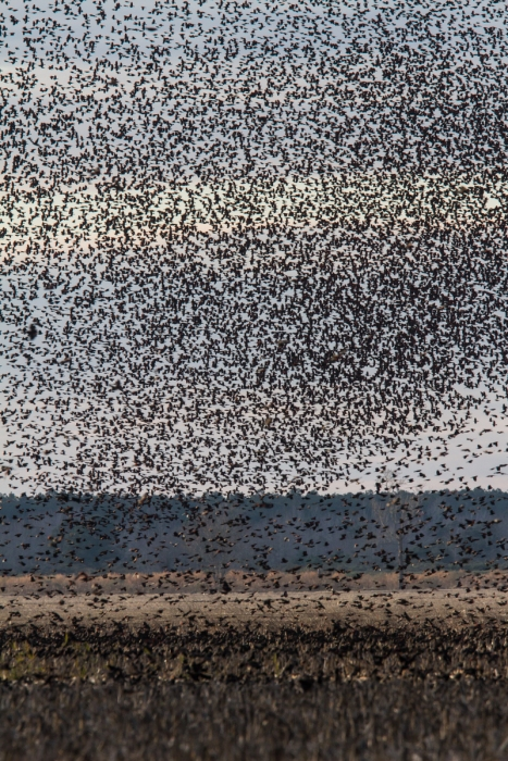 Red-winged Blackbird flock over filed