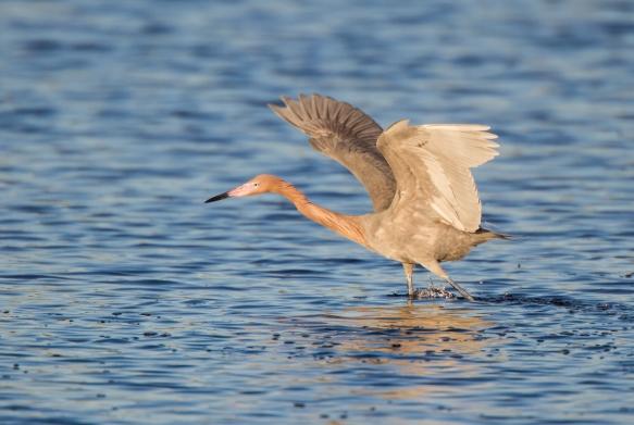 Reddish Egret foraging 1
