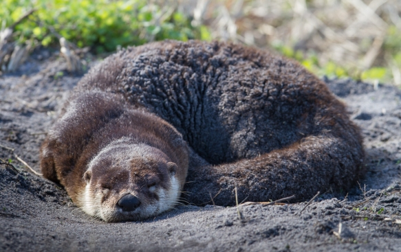 River Otter napping 1
