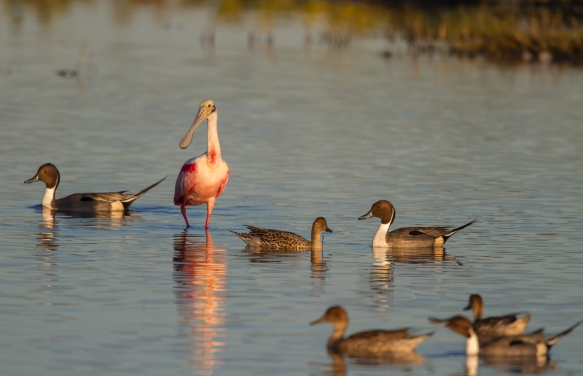 Roseate Spoonbill and Pintails