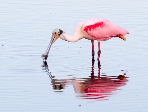 Roseate Spoonbill with fish