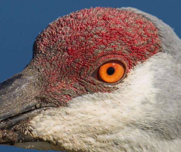 Sandhill Crane eye