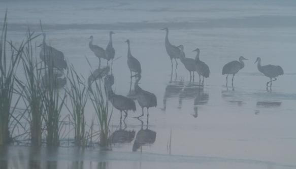 Sandhill Cranes in fog
