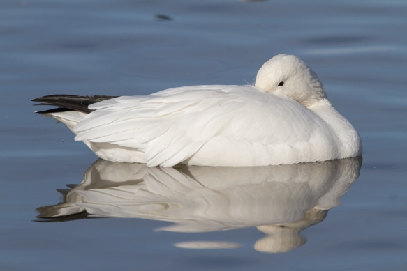 Sleeping goose 1