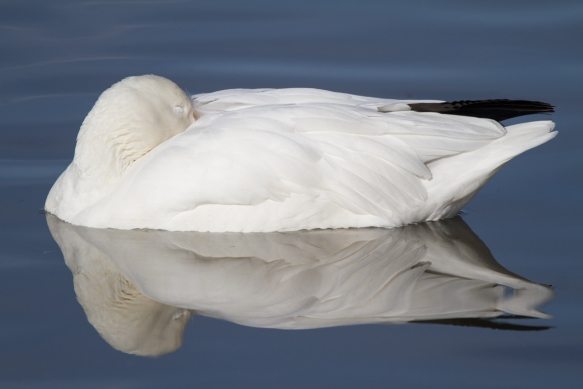 Sleeping snow goose 1