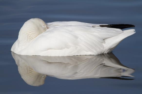 Sleeping snow goose 1