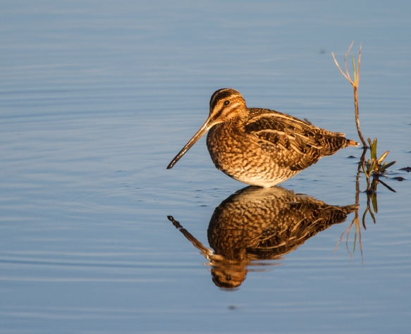 Snipe at sunset