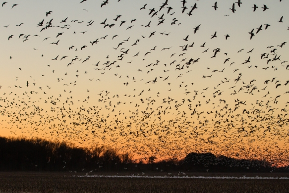 Snow Geese flying over field at sunset