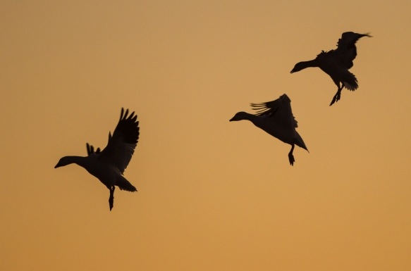 Snow geese landing silhouettes