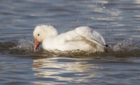 snow goose bathing  2