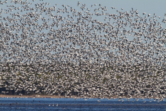 Snow Goose blast off on Pungo Lake
