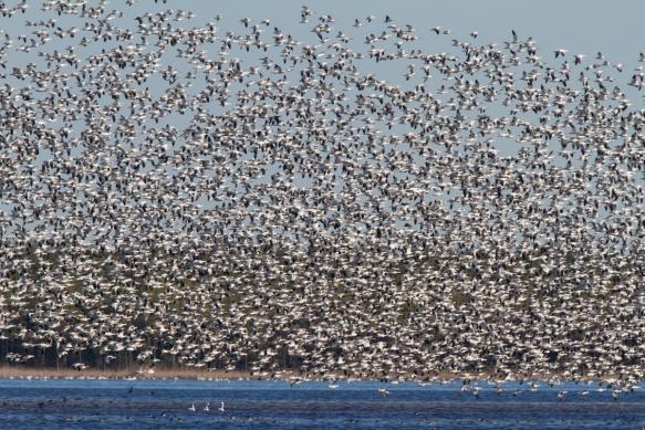 Snow Goose blast off on Pungo Lake