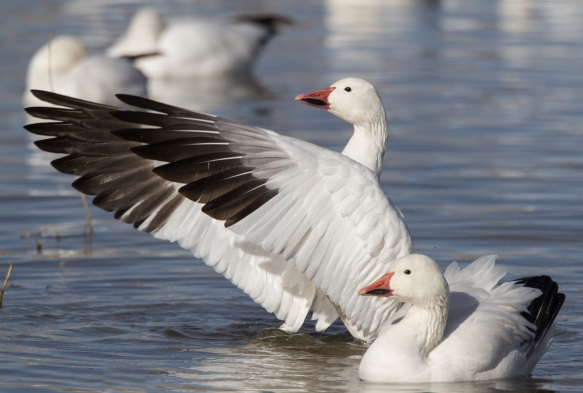 snow goose wing flap 4