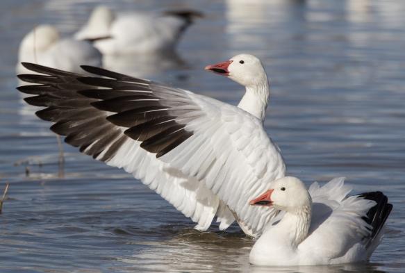 snow goose wing flap 4