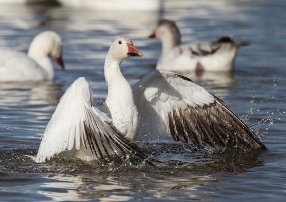 snow goose wing flap start