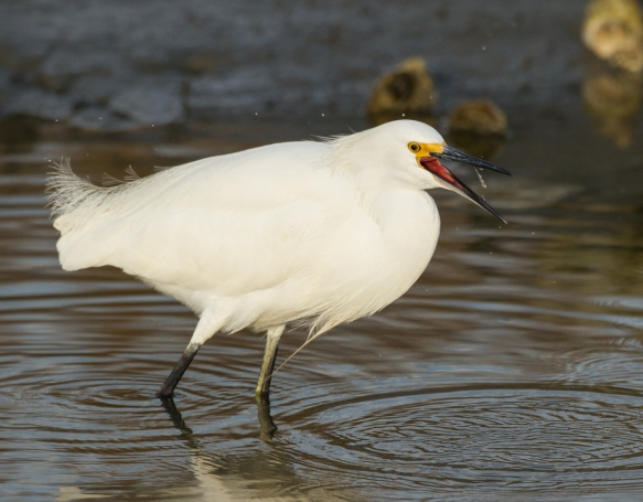 Snowy Egret eating grass shrimp