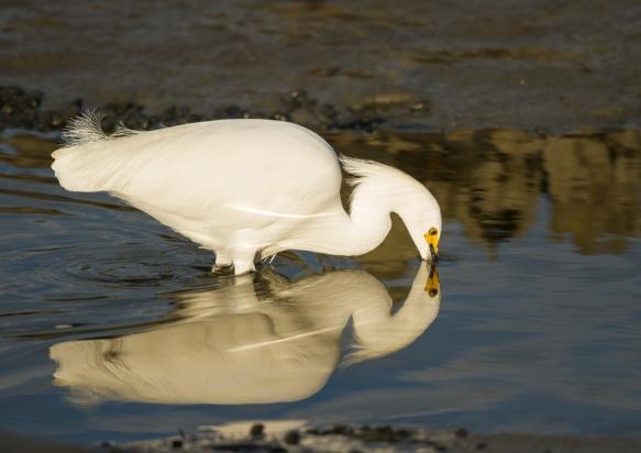 Snowy Egret hunting 1