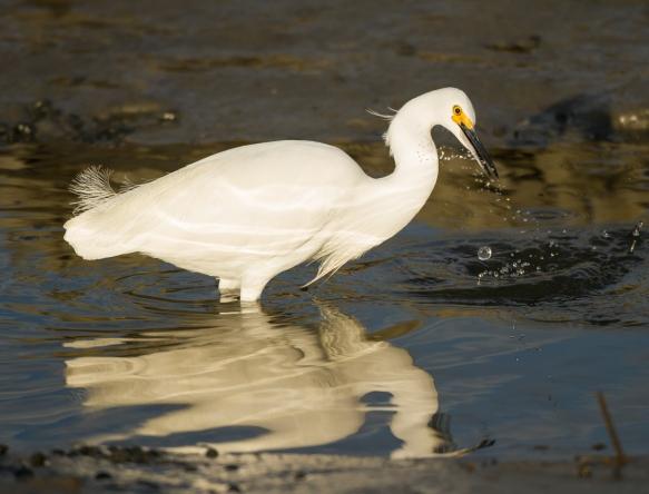 Snowy Egret hunting 2