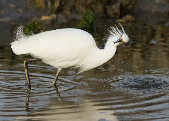 Snowy Egret hunting 3