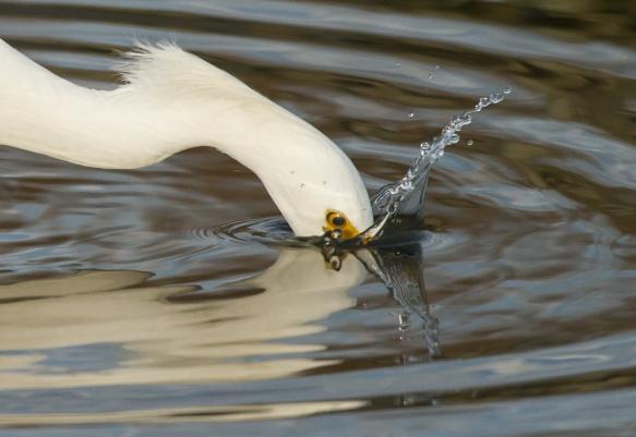 Snowy Egret strike close up