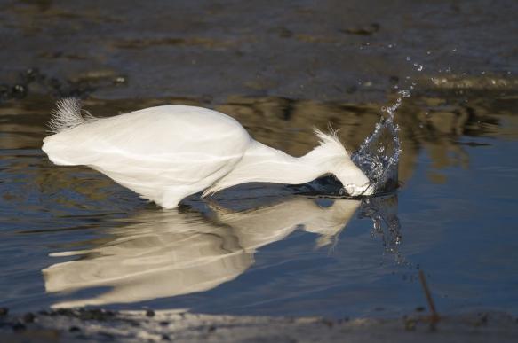 Snowy Egret strike