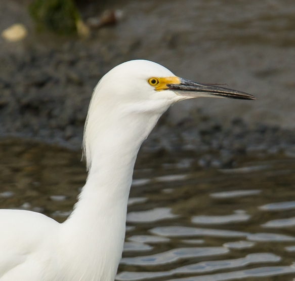 Snowy Egret swallowing goby at end