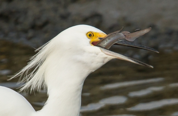 Snowy Egret swallowing goby close up