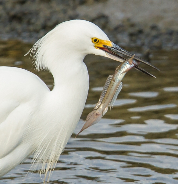 Snowy Egret with goby close up