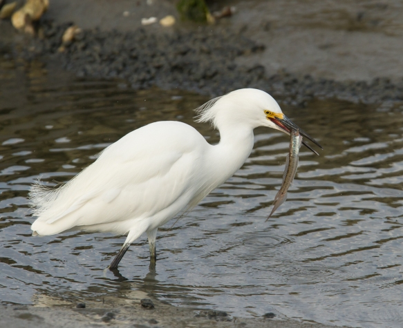 Snowy Egret with goby