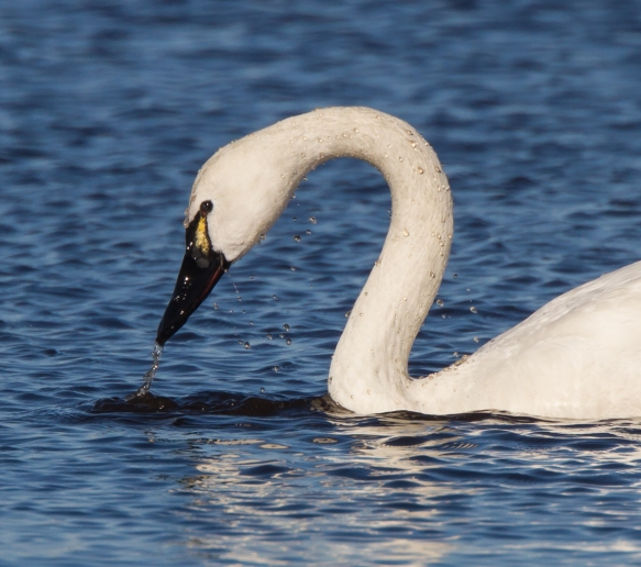 Swan pulling head out of water close up