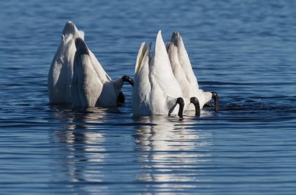 Swans feeding on Pungo Lake 2